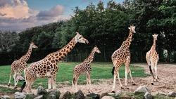 Giraffes walking and running in Aalborg Zoo.