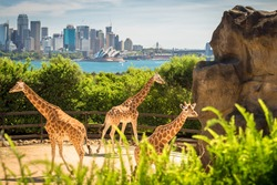 Giraffes with beautul Sydney city at the background on a bright day, NSW, Australia