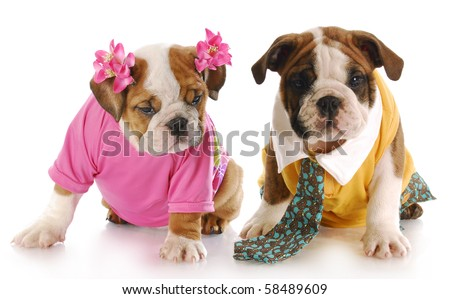 girl and boy english bulldog puppies dressed up with reflection on white background