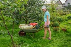 Girl carries vegetables on a wheelbarrow from garden nice summer day