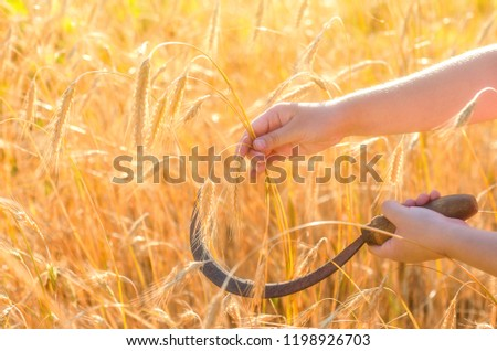 Girl cuts a sickle rye. Sickle is a hand-held traditional agricultural tool in farmer's hand preparing to harvest Сток-фото ©