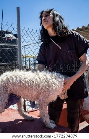 girl drying a white dog