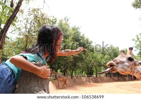 girl feeding a giraffe in a zoo, at thailand