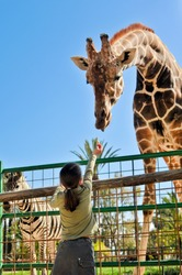 Girl Feeding Giraffe at Zoo