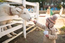 Girl feeds goats on a farm