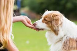 girl gives an Australian Shepherd dog a treat