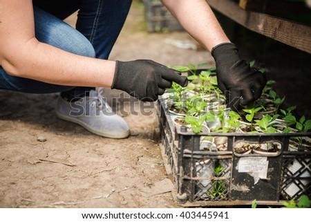 girl, greenhouse, seedlings,  seedling vegetables #403445941