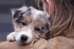Girl holding a dog in her arms, blue merle Border Collie puppy