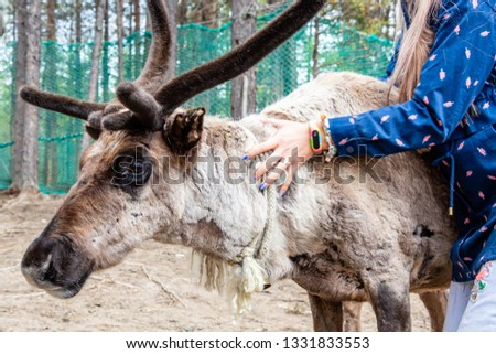 Girl stroking his hand a large gray reindeer with horns. The life of Sami on the show for tourists. #1331833553