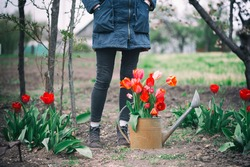 girl with watering can, tulips and tools in the garden. spring and gardening
