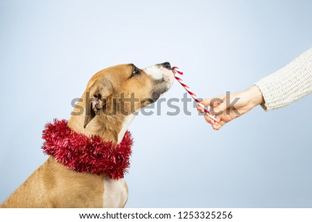 Giving Christmas presents concept. Human hand gives candy cane to a dog