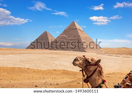 Giza Pyramids and a funny camel, Egypt