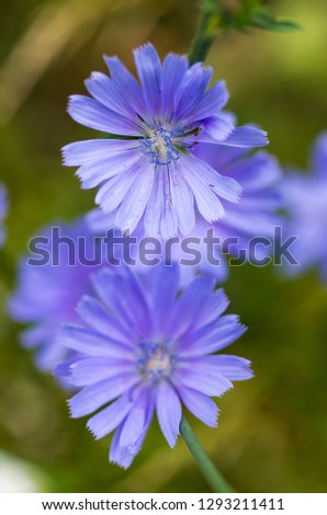 Glade flowers. Blue wildflowers. Wild chicory. A bouquet of wildflowers. Vertical frame