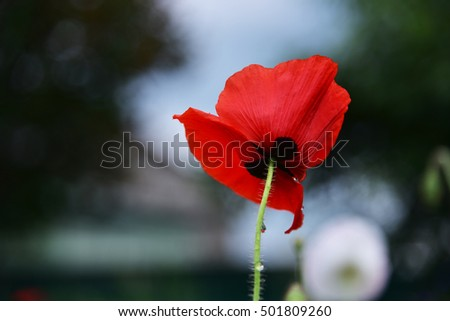 Glade with flowers of red poppy on a green blur background. Single wild poppy flower