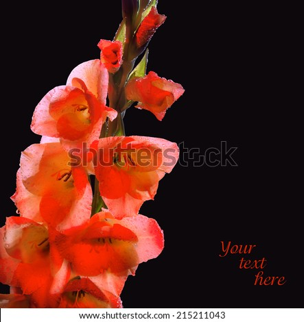 Gladiolus branch with gently coral flowers and closed buds covered with large drops of dew isolated on black backdrop. Mystery evening lighting plants in night park. Close-up view with space for text