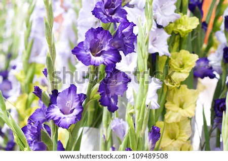 Gladiolus in the colours purple lilac, white and green