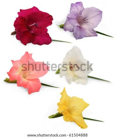 gladiolus isolated on white
