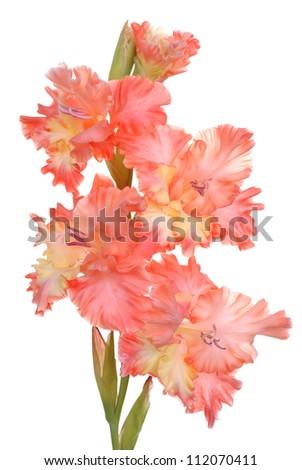 gladiolus on white background