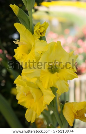 Gladiolus Yellow flowers in the garden