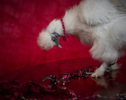 Glamorous chicken. Fashionable bird. Jewelers and chicken