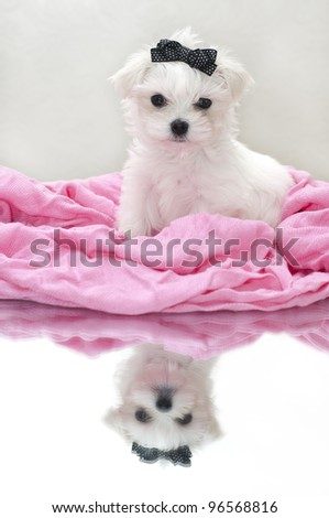 Glamour maltese puppy, 2 months old