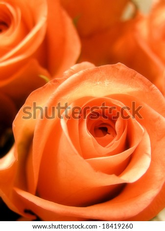 glamourous early color technique photographic reproduction of some beautiful salmon orange roses