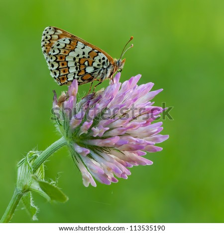 Glanville Fritillary butterfly (Melitaea cinxia) sitting on a little flower