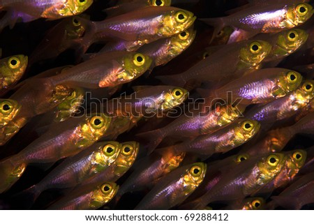 Glass fish, sweeper  closeup in the Similan Islands, Indian ocean, Thailand!