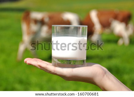 Glass of milk in the hand against herd of cows