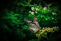 Glassy Tiger butterfly - Parantica aglea