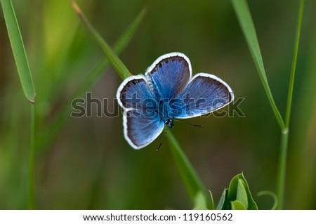 Glaucopsyche Lygdamus silvery blue butterfly on grass