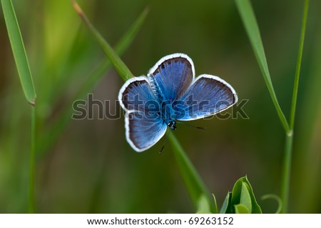 Glaucopsyche Lygdamus silvery blue butterfly on grass