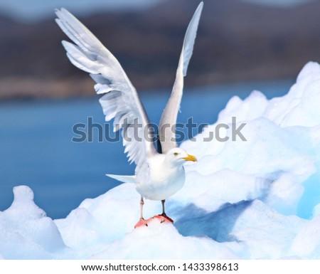 Glaucous Gull, Larus hyperboreus, bird of Greenland