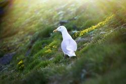 Glaucous gull (Larus hyperboreus, female) sitting on slope under rock where is colony of sea birds. Ornithogenic tundra, plant community on basis of Fox-tail Alopecurus. Northbrook, Franz Josef Land
