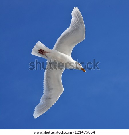 Glaucous Gull (Larus hyperboreus) on the wing - Arctic