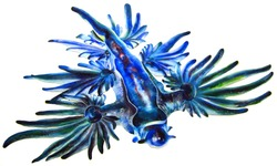 Glaucus atlanticus is a species of small, blue sea slug, a pelagic aeolid nudibranch, a shell-less gastropod mollusk in the family Glaucidae