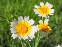 Glebionis coronaria blossoms. White daisy like, marguerite flower with yellow center. Chrysanthemum coronarium or Garland chrysanthemum is leaf vegetable, flowering plant in the Asteraceae family.