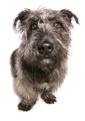 Glen of Imaal Terrier dog in a studio isolated on a white background
