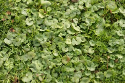 Glenchoma hederacea is a invasive ground-ivy. Aromatic evergreen ground cover