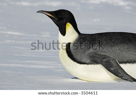 Gliding Antarctic penguin