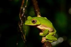 Gliding frog in Agumbe, Karnataka