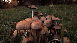 Glistening Inky Cap Mushrooms also known as Mica Cap or Shiny Cap. Coprinellus micaceus plant in the green grass