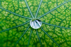 Glistening rain water droplet on a diseased nasturtium leaf with shallow depth of field