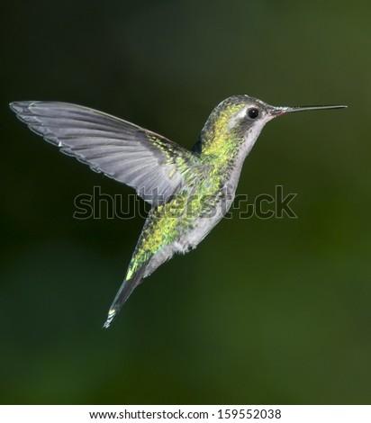 Glittering-bellied Emerald (Chlorostilbon lucidus) hummingbird in flight.