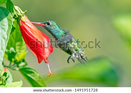 Glittering-throated Emerald hummingbird (Amazilia fimbriata) in perfect balance flight on a red flower, in the amazon forest of Suriname South America.