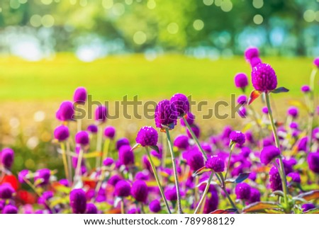 globe amaranth flowers in garden