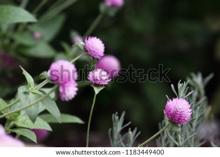 Globe amaranth or Gomphrena globosa flowers growing in a garden. Extreme shallow depth of field with selective focus on flower in the center of image.