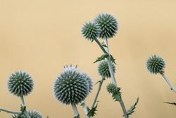 Globe thistle ball-shaped green flowers macro. Echinops ritro prickly grass on blurred beige yellow background. Copy space natural modern detailed herbal image