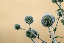 Globe thistle ball-shaped green flowers macro. Echinops ritro wild prickly grass on blurred beige yellow background. Copy space natural modern detailed herbal image