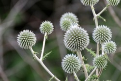 Globe thistle ball-shaped green flowers macro. Echinops ritro wild prickly grass on blurred green lines background